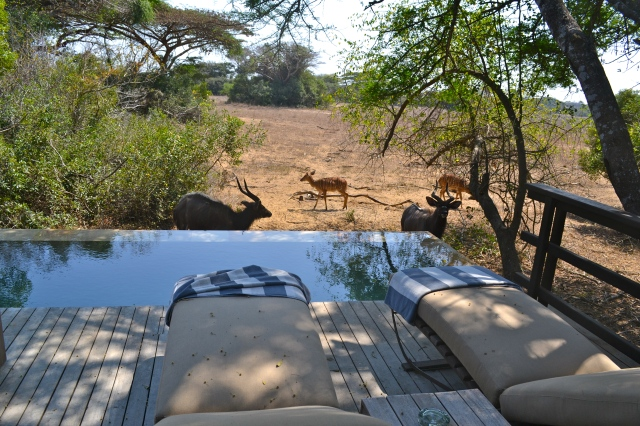 Our new friends, nyalas and impalas!