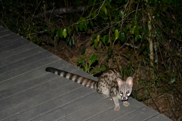 The friendly genet who roamed the property.