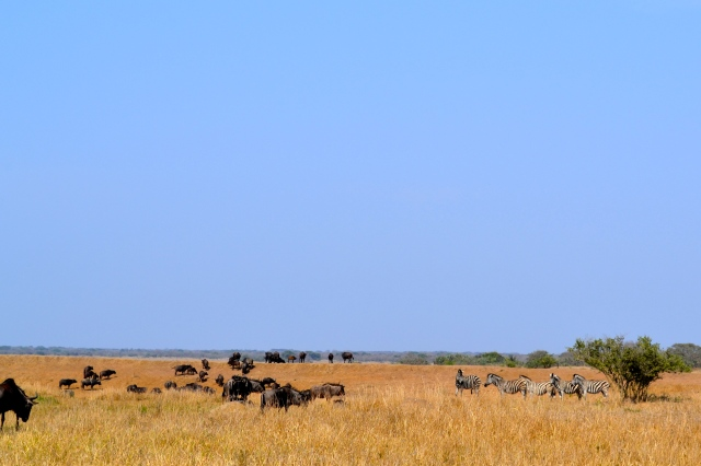 Water buffalo grazing beside zebras.