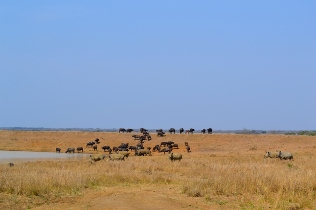 Water buffalo and rhinos.