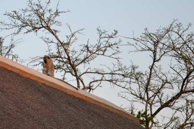 Sitting on the roof like he owns the place.